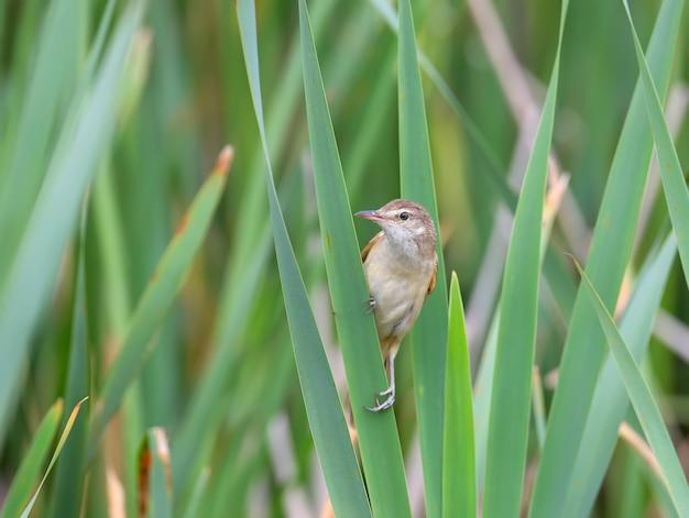 Savis trällerer (locustella luscinioides) nahaufnahme. ein vogel sitzt auf einem grünen schilfhalm