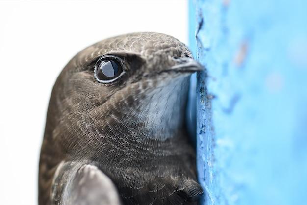 Scared bird swift lugt hinter der blauen wand hervor, nahaufnahme