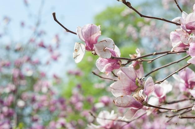 Schäbige magnolie, wettergegerbte blume