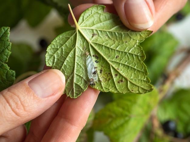 Schädlinge auf den blättern der johannisbeere. schädlingsbekämpfung von pflanzen.
