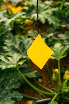 Schädlings- und krankheitsmanagement im gewächshaus mit gelbem und blauem aufkleber mit hormon. um fliegende insekten wie blattläuse, thrip, weiße fliege und andere zu fangen.