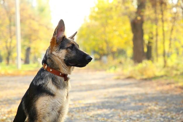 Schäferhund auf der bahn im herbstpark.