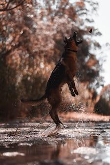 Schäferhund, der auf den fluss springt