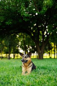 Schäferhund, der auf grünem gras liegt