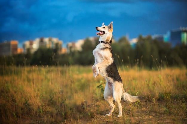 Schäferhund, der auf hinterbeinen auf einer grünen wiese steht