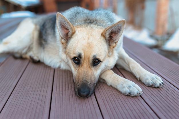 Schäferhund, der beiseite schaut und im haus auf den boden legt und auf seinen besitzer wartet