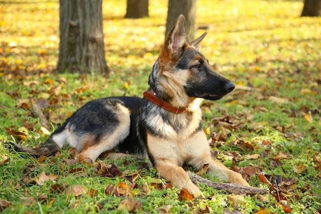 Schäferhund, der im herbstpark, hund im wald liegt