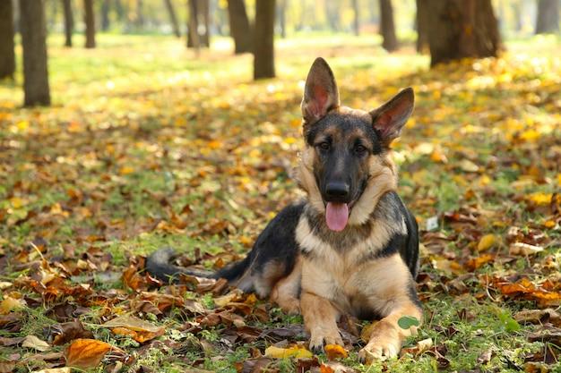 Schäferhund, der im herbstpark liegt. hund im wald