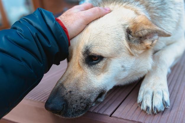 Schäferhund, der zu hause auf dem boden liegt und auf die männliche hand ihres besitzers auf dem kopf des hundes wartet