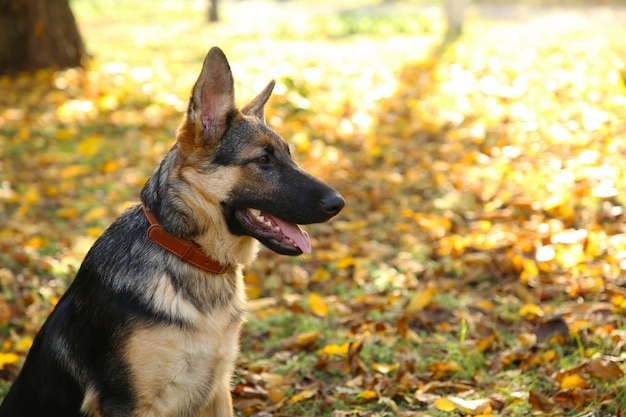 Schäferhund im herbstpark. hund im wald
