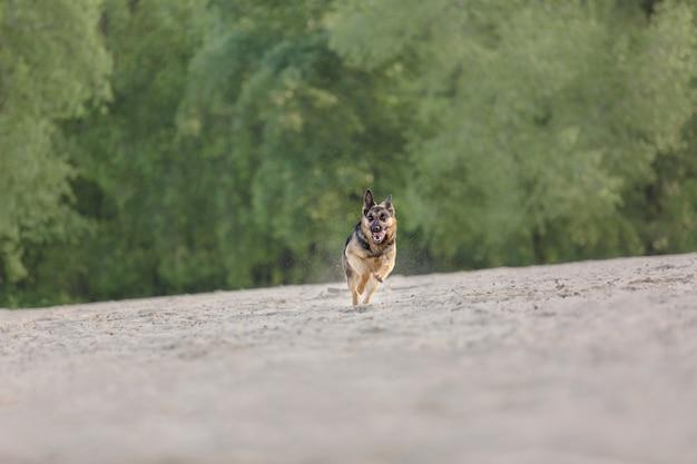 Schäferhund läuft im freien