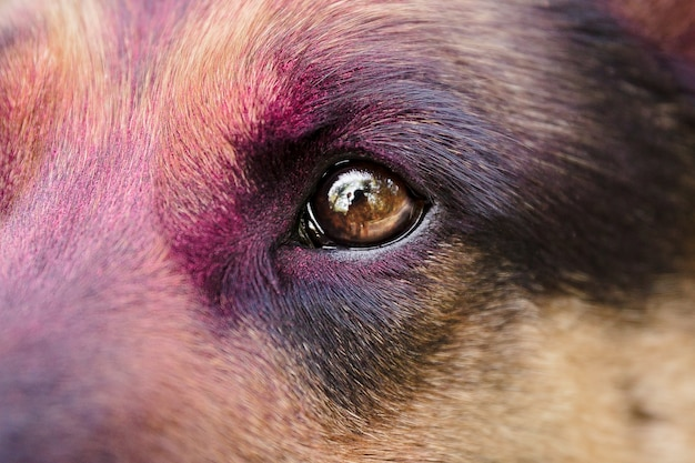 Schäferhund mit holi-farben