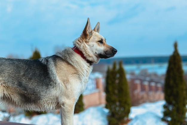 Schäferhund schaut beiseite und sitzt im freien in der nähe des hauses und wartet auf ihren besitzer