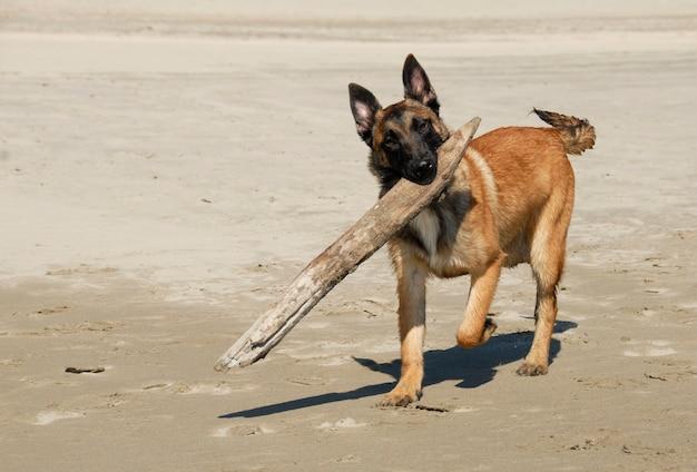 Schäferhund spielen