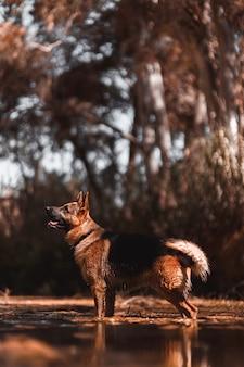 Schäferhundhund auf dem fluss