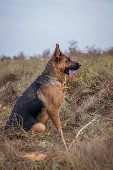 Schäferhundhund, der im gras, herbstfeld sitzt. haustier. heimtier und familienvormund. wilde natur.