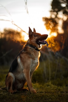 Schäferhundschattenbild am goldenen licht