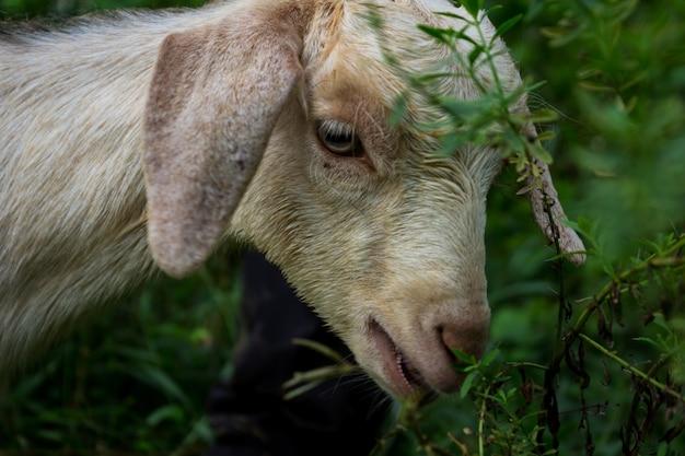 Schaf essen
