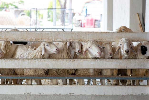 Schafe auf dem bauernhof. kopf der weißen schafe im stall.