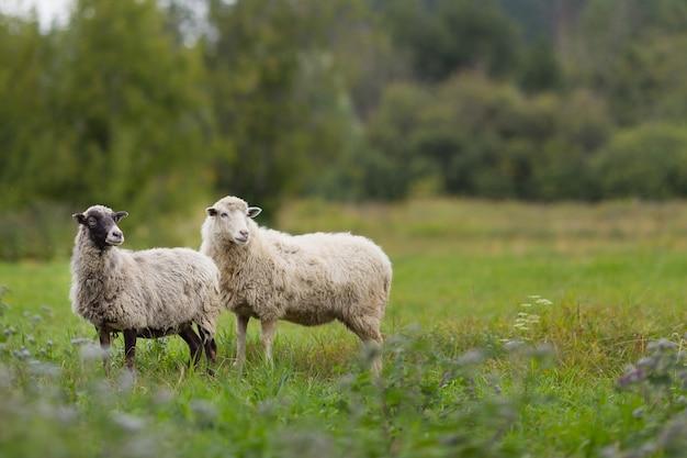 Schafe auf dem feld, die das grüne gras weiden lassen.