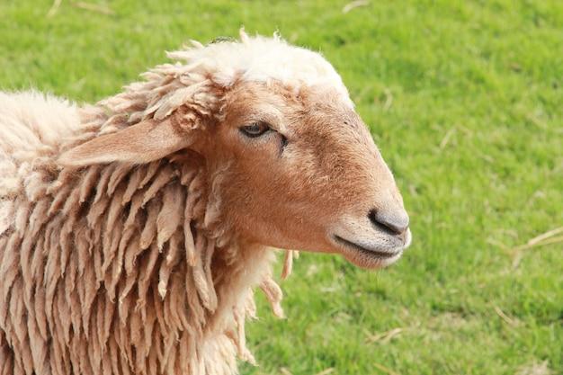 Schafe auf dem feld.