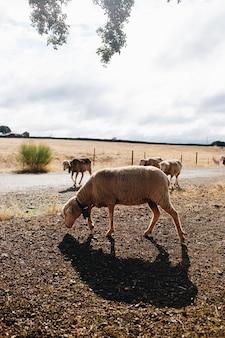 Schafe auf der farm, die an sonnigen tagen frei herumlaufen
