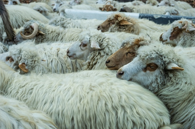Schafe auf der georgischen militärstraße