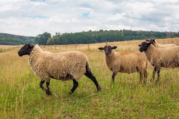 Schafe auf der weide auf einer wiese auf einem bauernhof.