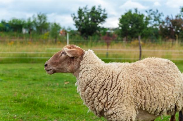 Schafe auf einem bauernhof für wolle und fleisch.