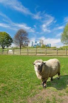 Schafe auf einem lokalen bauernhof mit canary wharf-skylinen