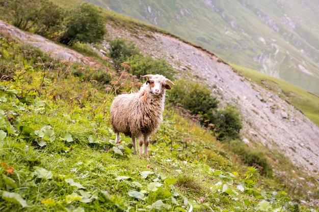 Schafe auf einer bergfarm an einem wolkigen tag.