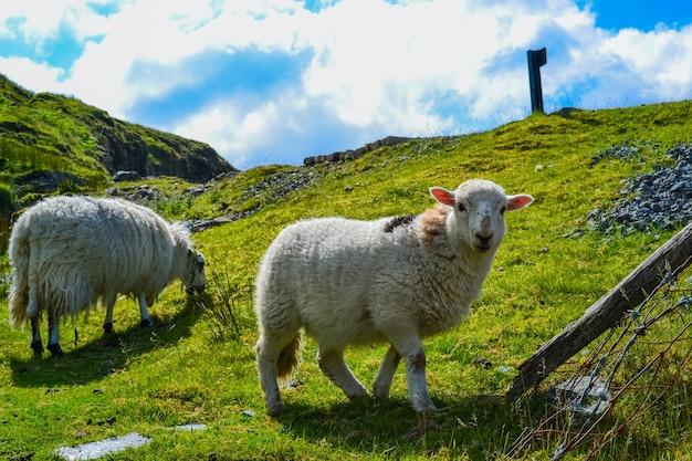 Schafe auf einer grünen wiese ruhen unter der sonne snowdonia-nationalpark