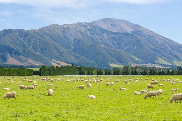 Schafe auf einer wiese in südinsel, neuseeland weiden lassen