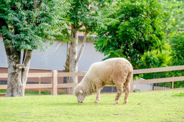 Schafe auf gras