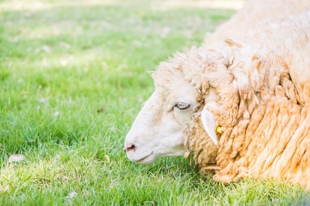 Schafe auf grünem gras