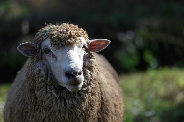 Schafe auf schöner bergwiese