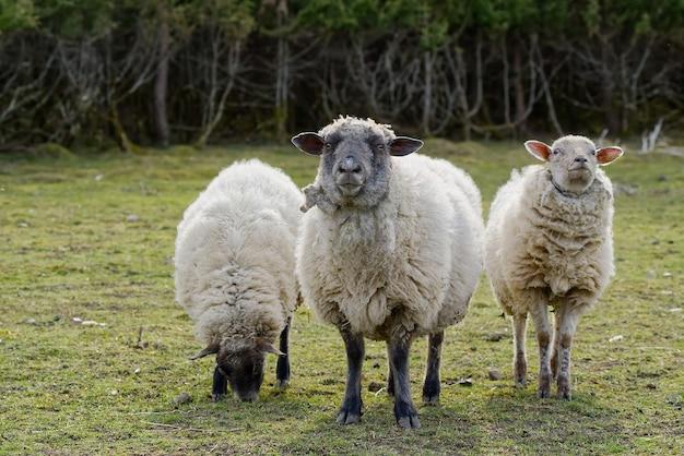 Schafe, die frisches gras essen, ungeschorene schafe in einem frühlingsfeldschaf, das auf das konzept der kamerafreien weidewirtschaft schaut