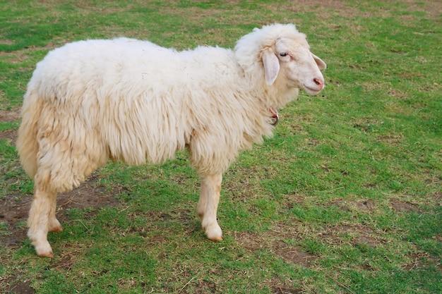Schafe, die gras auf dem gebiet essen