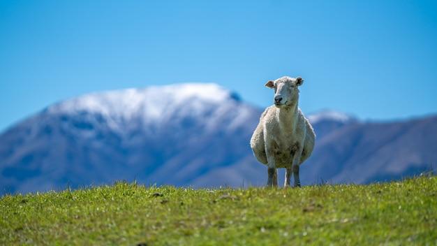 Schafe, die im feld grasen