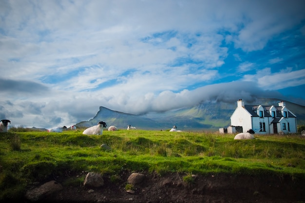 Schafe, die im frühjahr auf einem schottischen bauernhof weiden lassen.