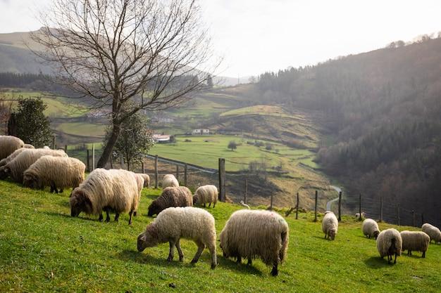 Schafe, die in den bergen am aizkorri-gebirge, baskenland grasen.