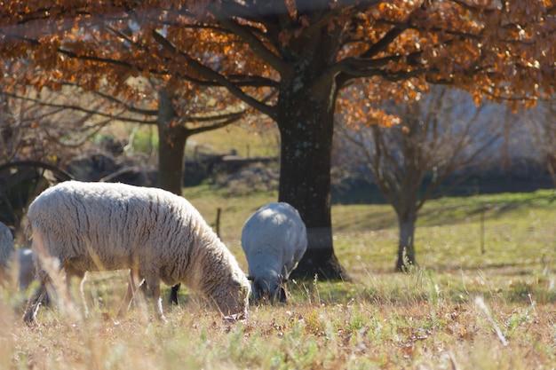 Schafe, die in den cordoba-bergen in argentinien weiden lassen