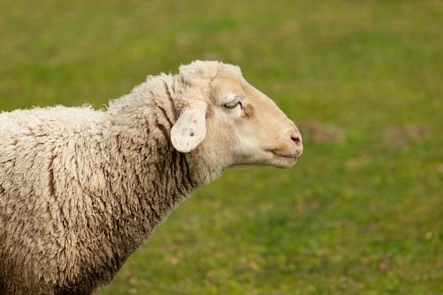 Schafe, die in der wiese mit grünem gras weiden lassen