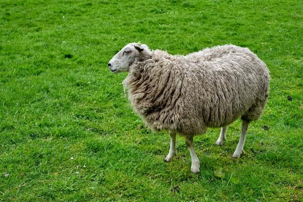 Schafe, die in grünes feld schauen