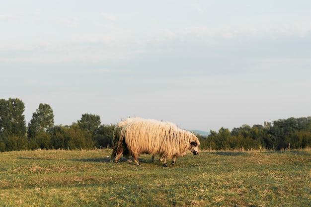 Schafe grasen auf einem grünen land