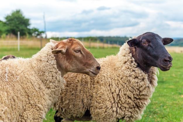 Schafe grasen auf einer grünen wiese.