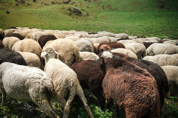 Schafe grasen auf einer grünen wiese