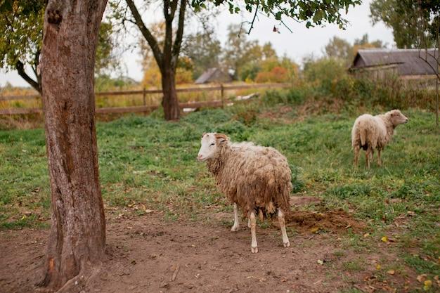 Schafe grasen hautnah