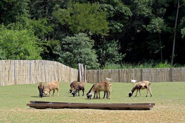 Schafe grasen im fahrerlager