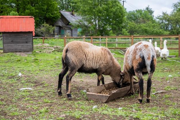 Schafe grasen im scheunenhof